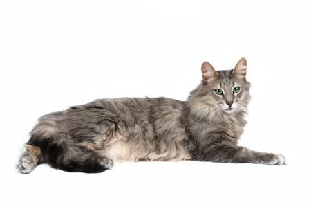Norwegian forest cat in studio photo