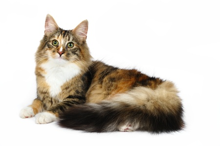 Norwegian forest cat in studio Stock Photo - 9913484