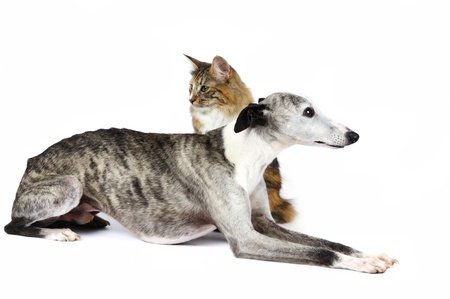 Whippet hound with a cat Standard-Bild