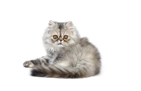 persian kitten in studio photo
