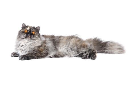Persian cat in studio photo