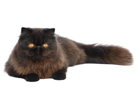 Exotic longhair cat in studio photo