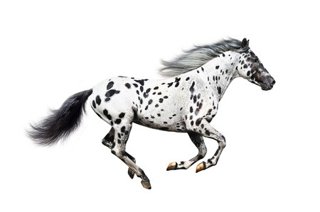 Appaloosa horse on a white background
