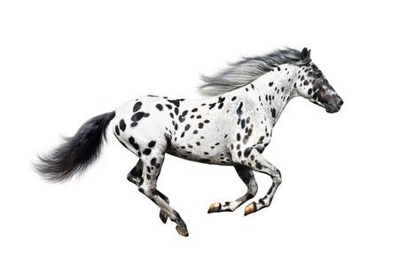 Cheval Appaloosa sur un fond blanc Banque d'images - 10285246