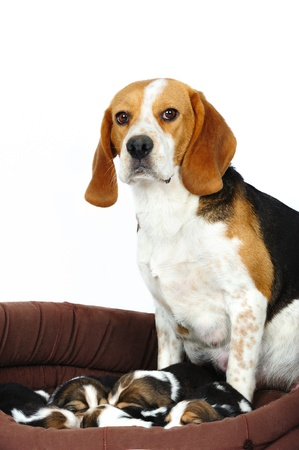 Female beagle dog with her little puppies in studio on a white background photo