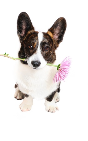 corgi dog holding a flower in front of a white background Standard-Bild