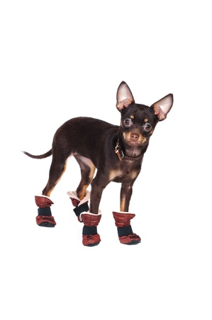 agreeable: Russian toy terrier in studio wearing funny boots