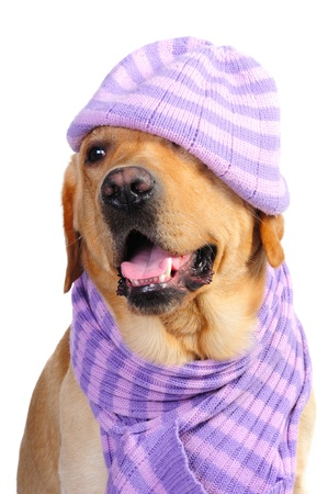 Funny golden labrador wearing a hat and a scarf in studio photo