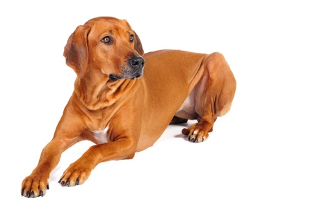 doggy position: Rhodesian Ridgeback Dog lying in studio on a white background  Stock Photo