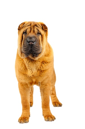 Shar pei puppy in studio on the white background photo