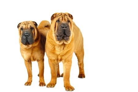sharpei: Shar pei dogs in studio on the white background