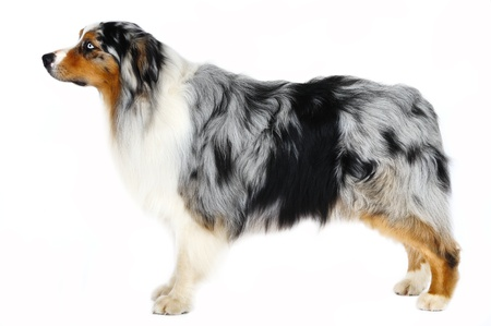 Australian Shepherd dog in front of white background
