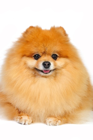 Pomeranian spitz on a white background in studio