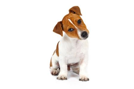 Jack Russell Terrier cachorro delante de fondo blanco Foto de archivo