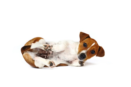 paw russell: Jack Russell Terrier puppy in front of white background