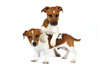 terriers: Jack Russell Terrier puppies in front of white background Stock Photo