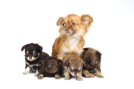 Chihuahua mother and her 4 puppies in front of white background photo