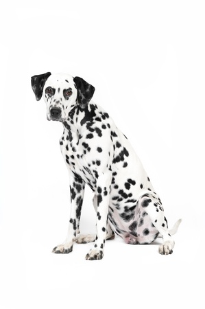 Dalmatian dog in studio in front of white background photo