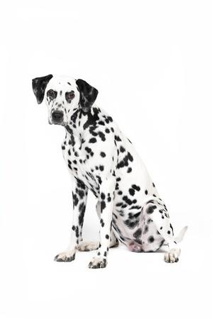 Dalmatian: Dalmatian dog in studio in front of white background