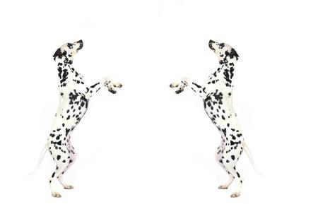 Dalmatian: 2 dalmatian dogs in studio in front of white background