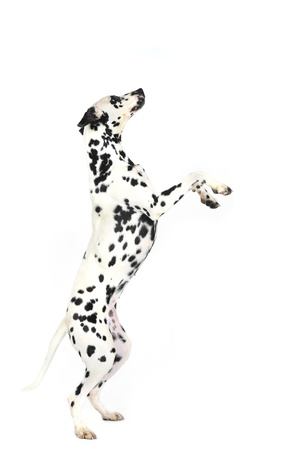 Dalmatian dog prancing in studio