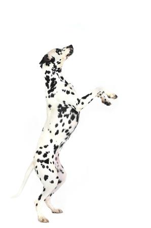 dalmatier: Dalmatische hond steigerend in de studio