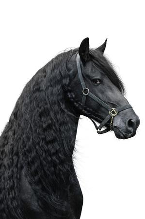black horse: Friesian caballo