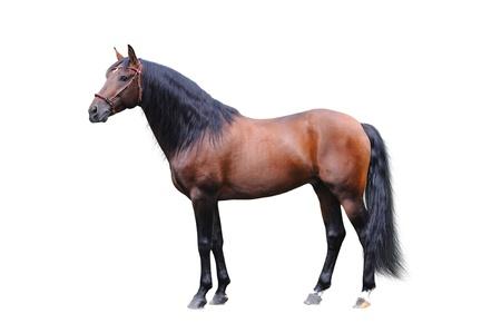 Andalisian stallion photo