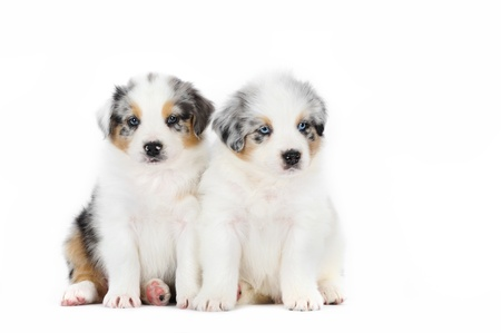Two australian shepherd puppies photo