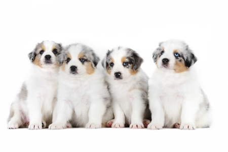 Four australian shepherd puppies