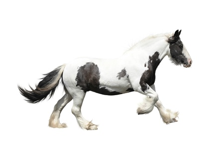 Irish cob on a white background