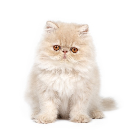 Persian kitten on white background photo