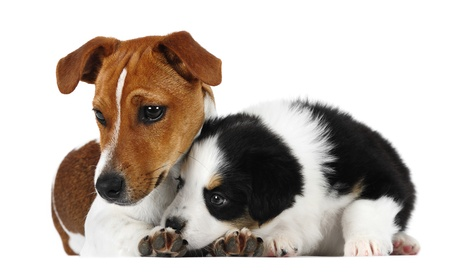 Australian shepherd and jack Russell terrier puppy in studio photo