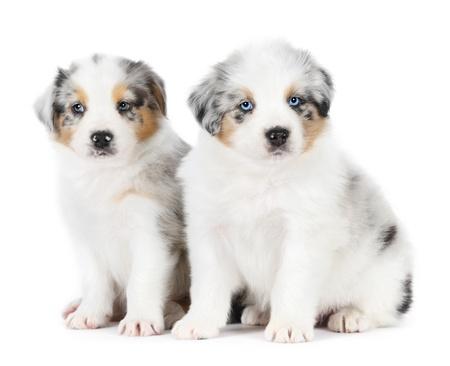 Two australian shepherd puppies in studio photo