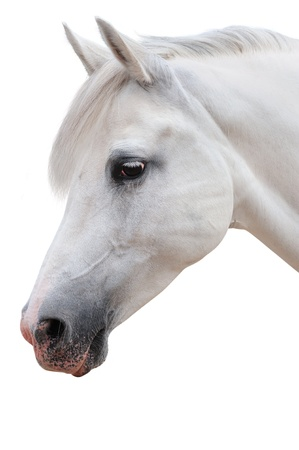 Arabian horse portrait photo