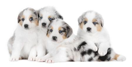 australian shepherd: A group of australian shepherd dogs in studio in front of a white background