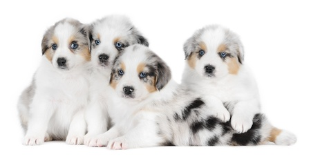 A group of australian shepherd dogs in studio in front of a white background