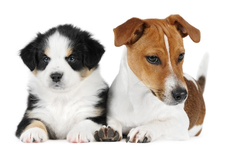 Australian shepherd puppy with a jack Russell Terrier  in studio photo