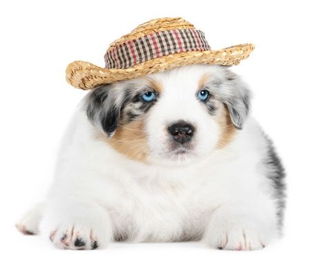 Australian shepherd dog  puppy  wearing hat in studio on white background photo