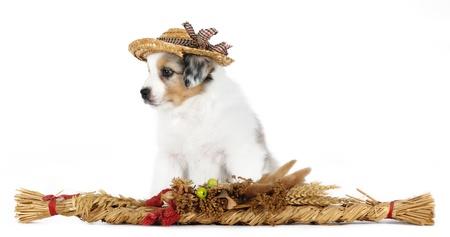 Australian shepherd dog  puppy  wearing hat in studio on white background photo