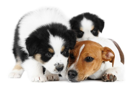 Two australian shepherd puppies and a Jack Russell Terrier in studio in white background photo