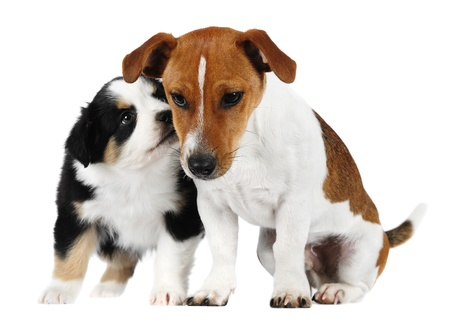 Australian shepherd puppy and Jack russel terrier in studio on a white background photo