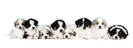 Eight australian shepherd puppies in studio in white background