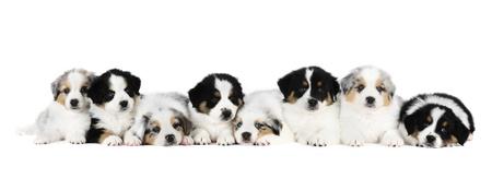 Eight australian shepherd puppies in studio in white background photo