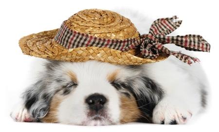 Australian shepherd dog (puppy) wearing hat in studio on white background photo