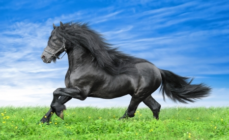 Friesian horse on the blue sky background photo