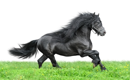 Friesian horse on the green and white background