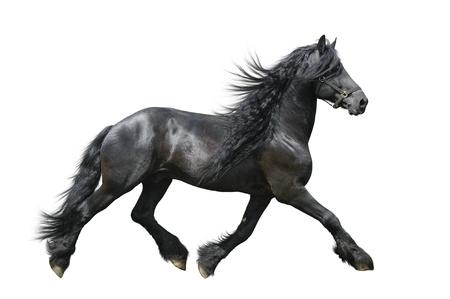 caballo negro: Caballo Frisón sobre un fondo blanco Foto de archivo