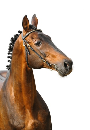 Trakehner horse on a white background photo
