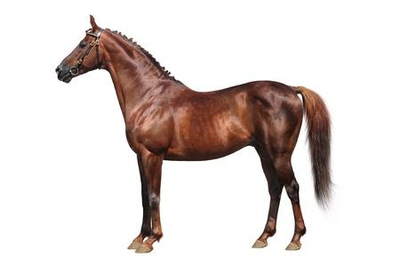 carreras de caballos: Trakehner caballo sobre un fondo blanco Foto de archivo